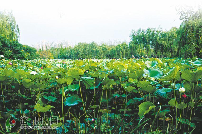 河南:隋唐城遗址植物园荷花扑鼻香 清凉满目来