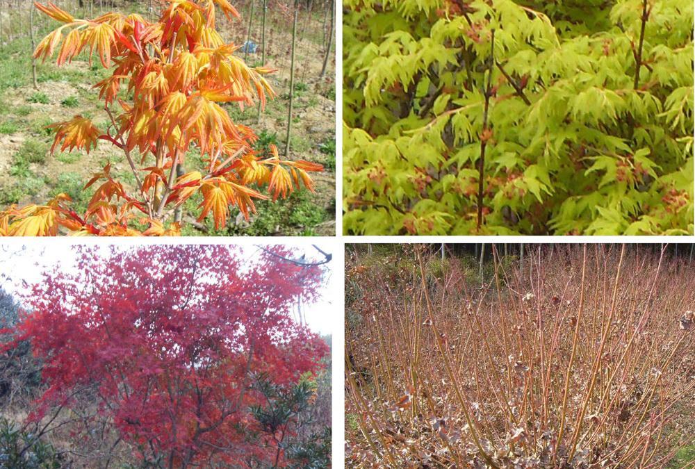 一年四季不同颜色的金叶鸡爪槭