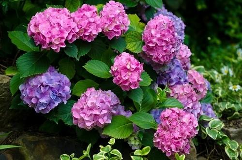 上海植物园:五彩绣球——八仙花