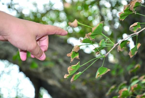 银杏树部分树叶出现干枯、萎缩现象