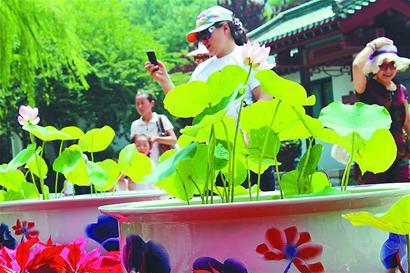游客驻足观赏盆栽荷花