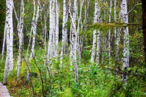 这是近日在内蒙古扎兰屯市柴河景区拍摄的白桦林