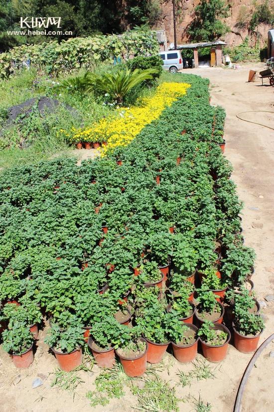 繁育的各类花卉