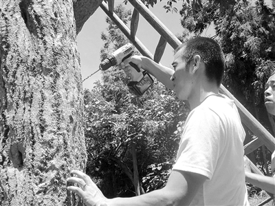 专家用电钻在树身上钻孔灌药灭虫