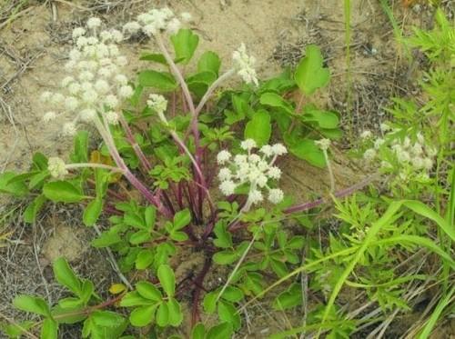 大连发现数百株国家二级重点保护植物——珊瑚菜