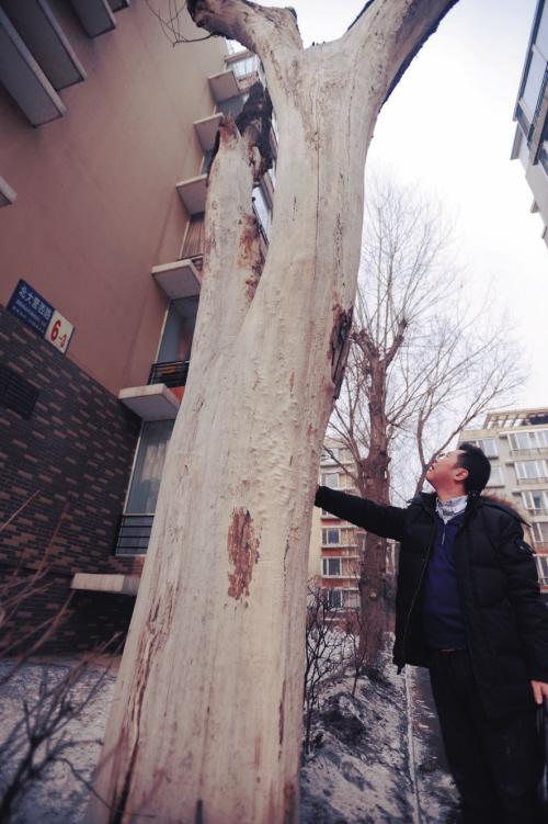 """沈阳:老杨树冬季惨遭被""""扒皮"""" 究竟是谁干的"""