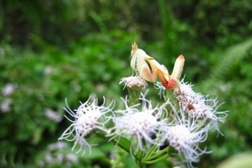 兰花螳螂比花卉更美丽
