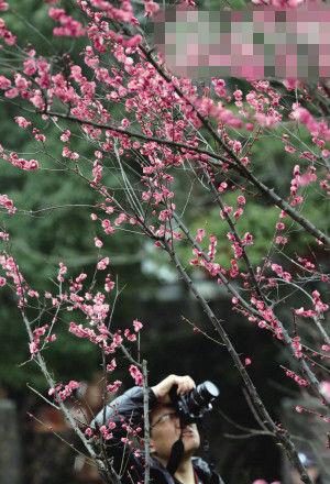 十里梅花香雪海雏形初现 杭州超山梅花节明天开幕