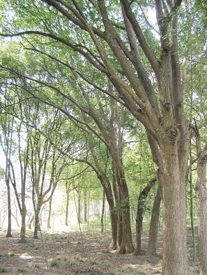 来树种水土不服乡土树种悄然回归