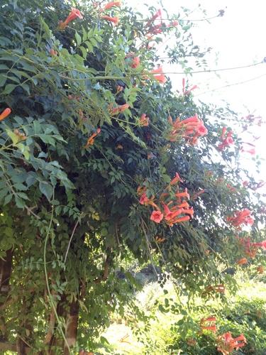 上海植物园里凌霄红艳 酷暑之下花开娇美