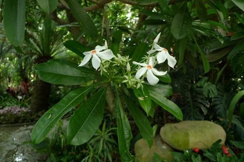 上海植物园温室海芒果花开美丽 果似芒果却含剧毒