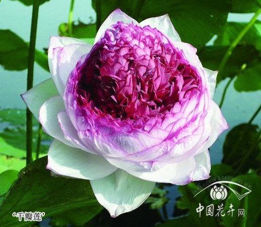 上海:辰山植物园荷莲盛景重磅来袭 中外新优品种靓丽登场