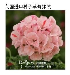 园林人论坛-2013年度天竺葵种植比赛开始报名