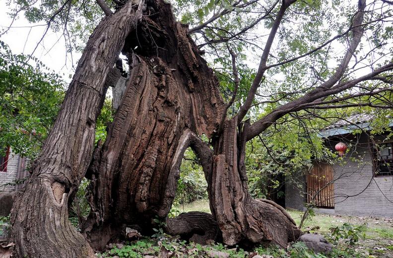 园内现有名木古树200多棵,其中国槐2棵,千年以上树龄的有2棵,500年