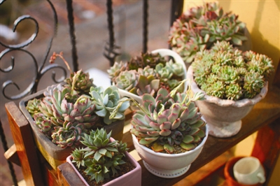 多肉景天科植物为何会变色 光照温差是变色关键