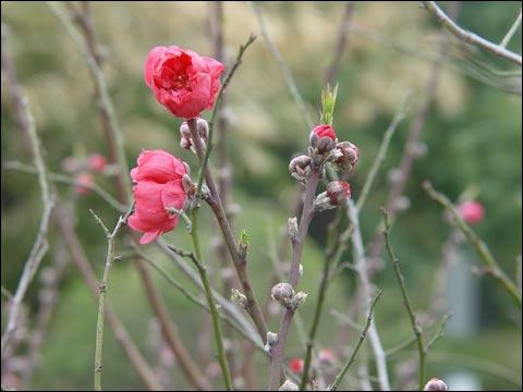 福建:龙岩市武平朵朵梅花俏枝头