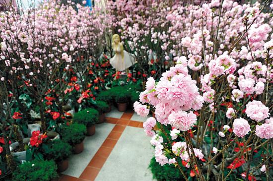 温室里盛开的樱花