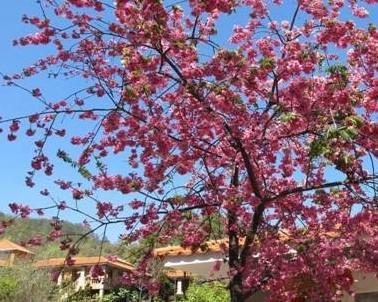 云南 宜良九乡风景区樱花盛开添景观
