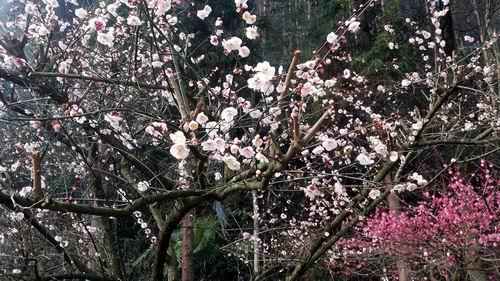 湖南:赏花时节 张家界国家森林公园桃花朵朵开