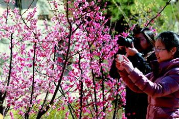 梅花进入盛花期