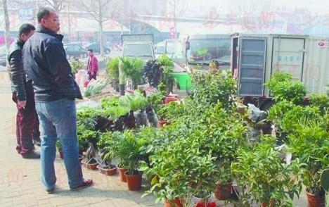 山东:青岛气温回升花卉市场回暖 绿叶植物受宠