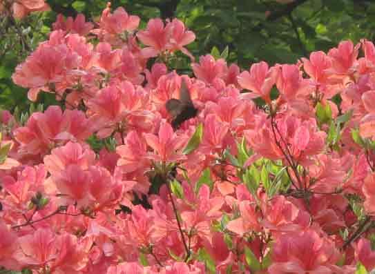 山东:日照市五莲山风景区野生杜鹃花提前盛开