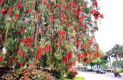 在过境公路和翠微大道交叉口,惊艳绽放的红千层犹如一串串挂在树上的鞭炮。