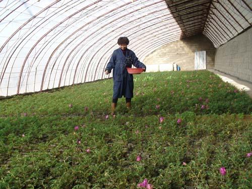 温室里,鲜花盛开