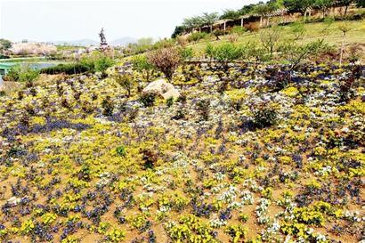 山东:青岛崂山区170种花卉植物开放迎客- 园林资讯