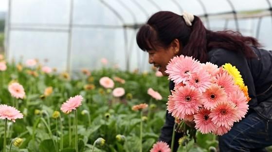 昨日花农在园区内采摘非洲菊