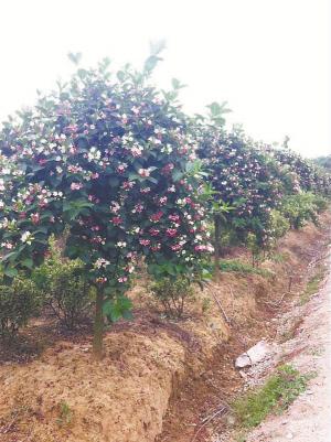 """""""大华基地从东北长白山引种野生锦带花,经过1到2年的培育,扦插到这里"""