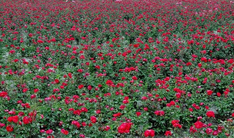 山东即墨市玫瑰圣地农业种植基地玫瑰花绽放