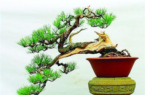 五针松盆栽可室内无土栽培