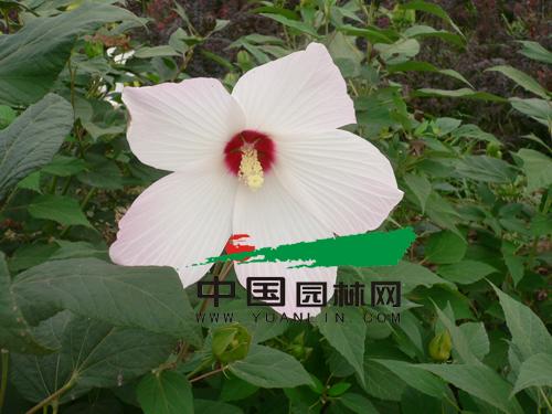 大花秋葵的栽培管理
