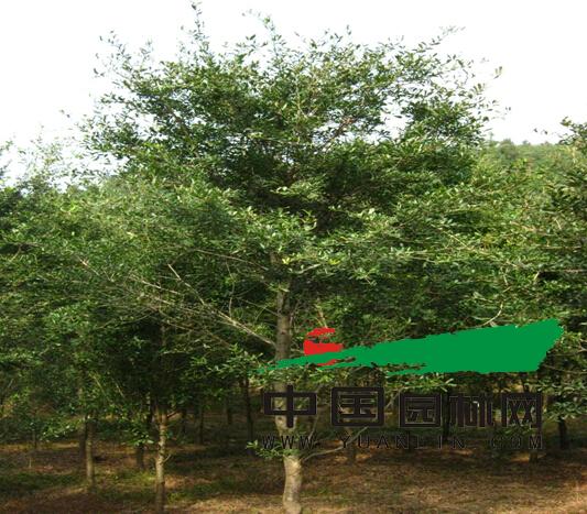 弗吉尼亚栎种植管理与造型探讨