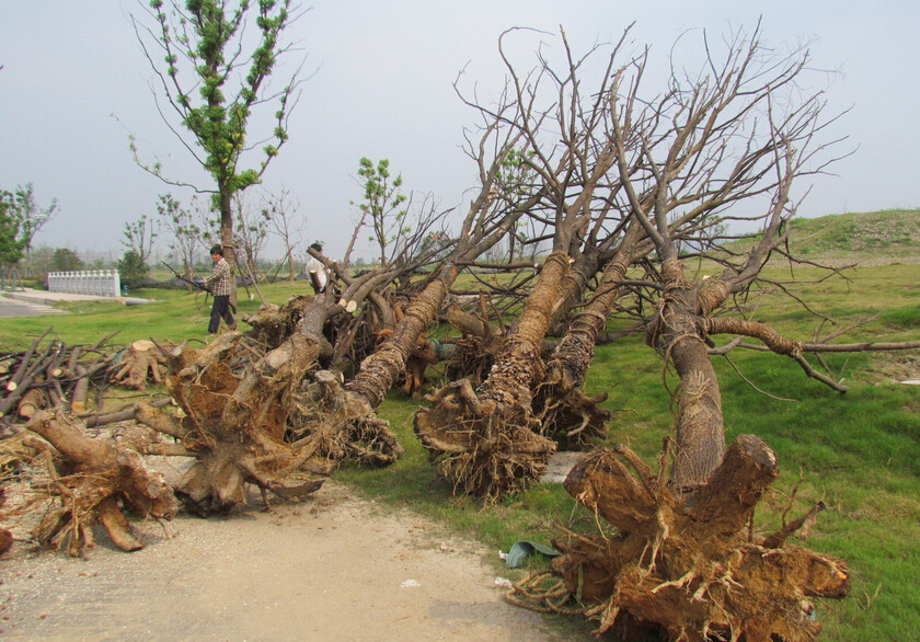 工人正在挖出两边枯死的大树