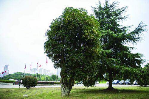 湖南:长沙城区最老的桂花树已有400岁了
