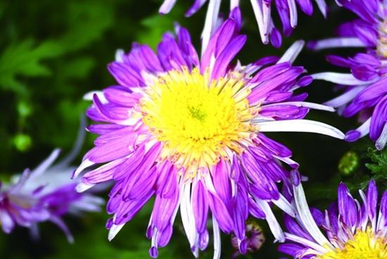 青岛中山公园菊展吸引市民参观