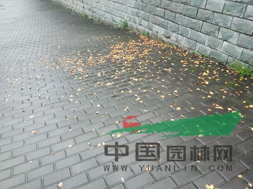 吹落在地的银杏树叶-深秋临近 银杏槭树等彩叶树种渐入佳境