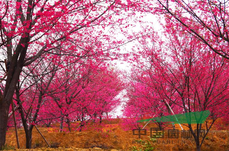中国红樱花苗木观光基地 中国园林网12月7日消息:山深未必得春迟,处处山樱花压枝,这是宋代诗人方岳描樱花盛开的诗句。都说3月是赏樱花的时节,但如今,在1月的冬季,你也可以欣赏到美丽的樱花啦! 在福建天苗农业发展有限公司(以下简称天苗农业)苗木观光基地里,几千棵中国红樱花已是蓄势待发的状态,尚未绽放的花骨朵如纽扣般精致、可爱。 天苗农业的欧总告诉笔者,早在2000年,他每年都会从国外引进不少苗木品种进行开发、培育和驯化。但是通过引种实践欧总发现,在环境、气候、土壤、病虫害等综合条件下,适应性强的苗木品种