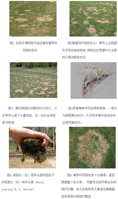 狗牙根春季坏死斑:对草坪管理者的巨大挑战