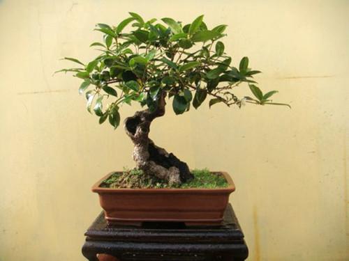 怎样修剪才能使盆栽桂花树种植技术树冠丰满