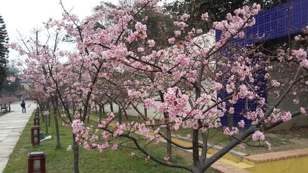 台湾:新竹公园1000株樱花纷纷绽放