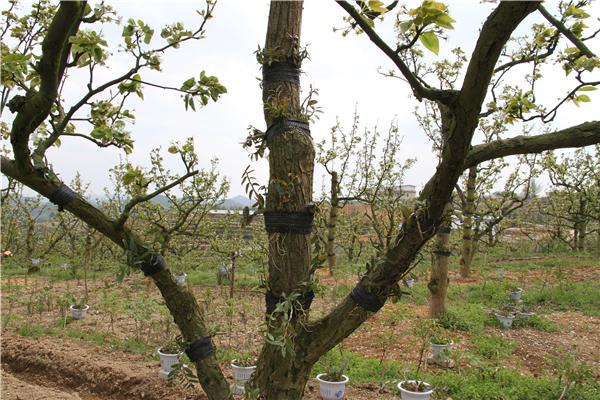 在梨树树干和粗壮的枝干上种植经济价值高的铁皮石斛,在树下种上既有