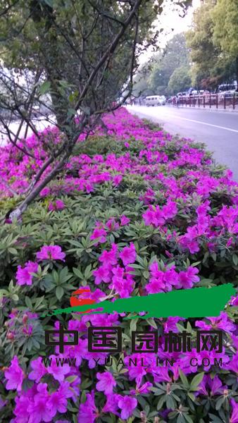 发现城市的风景 杭州四月杜鹃美