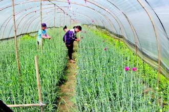 基地员工采摘鲜花
