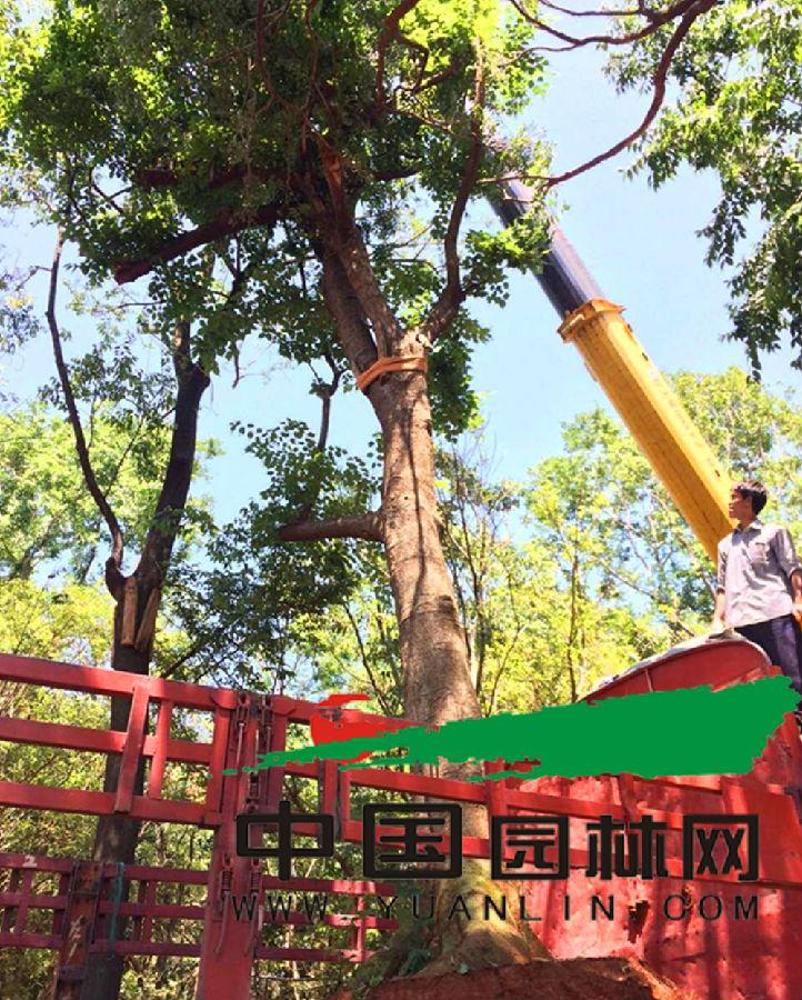 云南特色乡土树种滇朴价格持续下滑