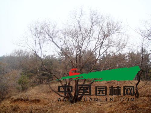 组栽快速培育生产丛生多杆景观树