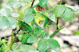 夏季花卉首防病虫害
