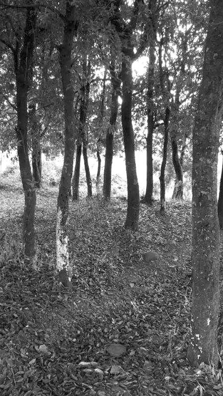 有红椆木古树群